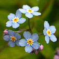 Forget-me-not by Jouko Lehto