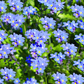 Forget Me Not Macro by Lena Photo Art