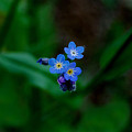 Forget Me Not  by Marilynne Bull
