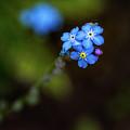 Forget-me-not by Steve Harrington