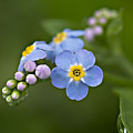 Forget Me Not by Susan Garver