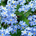 Forget-me-nots by Jean Hall