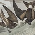 Fork-tail Petrel by John James Audubon