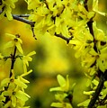 Forsythia At The Hacienda by David Lane
