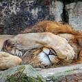 Fort Worth Zoo Sleepy Lion by Robert Bellomy