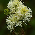 Fothergilla Major - Mountain Witchalder by Christiane Schulze Art And Photography