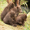 Four Bear Cubs Looking In Same Direction by Ndp