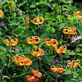 Four Butterflies On Turks Cap Lilies by David Rowe