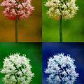 Four Colorful Onion Flower Power by James BO  Insogna