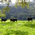 Four Cows At Nojoqui Ranch by Kurt Van Wagner
