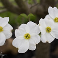Four Dogwoods by Andrew Jay Mayon