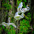 Four Egrets by Harry Spitz