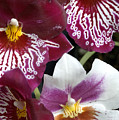 Four Exotic Orchid Blossoms by Todd Gipstein