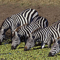 Four For Lunch - Zebras by Sandra Bronstein