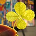 Four Leaf Clover In Studio 2 by Julia Jacquez