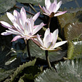 Four Lilies In The Sunlight by John Lautermilch