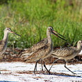 Four Marbled Godwits by Barbara Bowen
