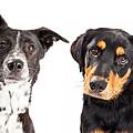Four Mixed Breed Dogs Closeup by Susan Schmitz