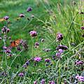 Four Monarch Butterflies by Karen Adams