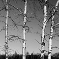 Four Naked Birches Bw by Mary Bedy