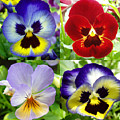 Four Pansies by Nancy Mueller