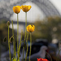Four Poppies With Harbour Bridge Backdrop by Sheila Smart Fine Art Photography