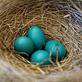 Four Robin Eggs In Nest by Barbara McMahon