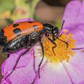 Four-spotted Blister Beetle - Mylabris Quadripunctata by Jivko Nakev