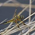 Four Spotted Chaser by Bob Kemp