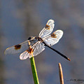 Four Spotted Pennant On A Reed by Sally Sperry