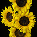 Four Sunny Sunflowers by Garry Gay