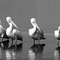 Four White Pelicans In A Funny Pose by John Harmon