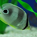 Foureye Butterfly Fish by John Black