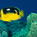 Fourspot Butterflyfish by Ed Robinson - Printscapes