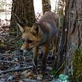Fox  by Colette V Hera Guggenheim
