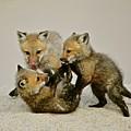 Fox Cubs At Play II by Susan Ballard