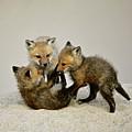 Fox Cubs At Play by Susan Ballard