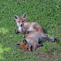 Fox Cubs Chilling Out by Peter Walkden