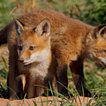 Fox Cubs Playing by William Jobes