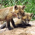 Fox Feather Play by LeAnne Perry