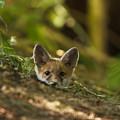 Fox Hole by Calum Dickson