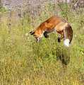 Fox Hunt At The Top by Bill Dodsworth