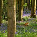 Fox In Bluebells by Chris Beard
