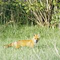 Fox In Meadow by Steve Somerville