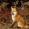 Fox In The Fall by Martina Schneider
