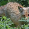 Fox In The Ferns by Jesse MacDonald