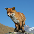 Fox In The Mountains by Arterra Picture Library