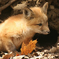 Fox Kit At Entrance To Den by Doris Potter
