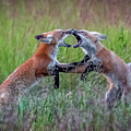 Fox Kitts Playing by Donna Barker