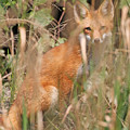 Fox by Mike Dickie